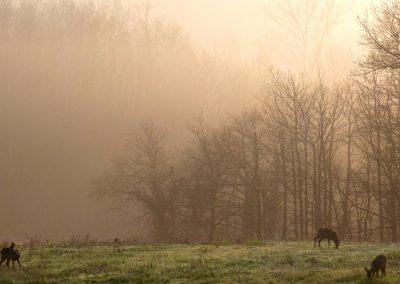 Chevreuils au Domaine de Maillac au petit matin