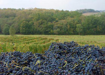 Les raisins vendangés devant les vignes
