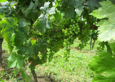 Le raisin vert