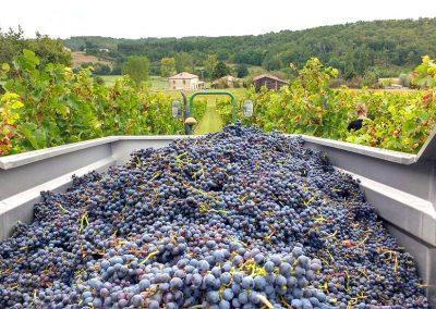 Le raisin vendangé dans la cuve, au milieu des vignes